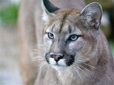 Ag Ed lesson: Wildlife Management and the Florida Panther