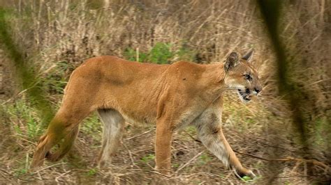 Florida panther found dead following vehicle strike - News